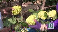 Phú Yên: Lãi hàng trăm triệu đồng nhờ trồng mãng cầu Tết trái vụ