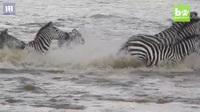 Ngựa vằn bị đàn cá sấu hung tợn xé xác trên khúc sông tử thần