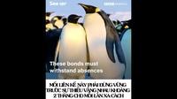 """Xem chim cánh cụt thực hiện điệu nhảy """"bắt chước"""" để tìm bạn đời!"""