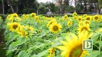 Ngẩn ngơ trước vườn hoa hướng dương đẹp chưa từng có ở Hoàng thành Thăng Long