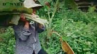 Người phụ nữ làm nghề hái lá chuối rừng suốt 35 năm.