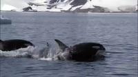Loài vật nào khiến cá mập trắng lớn cũng phải khiếp sợ?
