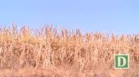 Phú Yên: Nắng nóng kéo dài, nhiều cánh đồng mía chết khô ngoài ruộng