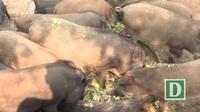 Phú Yên: Nông dân nuôi heo rừng lai kiếm hàng trăm triệu mỗi năm