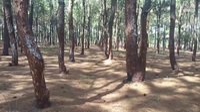 Hơn 150ha rừng thông bị cạo vỏ
