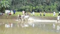 Đua bò ở Ấn Độ