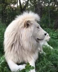 Video cận cảnh cặp đôi sư tử trắng quý hiếm và tuyệt đẹp