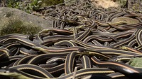 """Đến nơi bị hàng nghìn con rắn """"xâm chiếm"""" mỗi năm"""