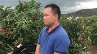 Lái buôn Trung Quốc tăng mua gấp đôi, mỗi ngày 3.000 tấn vải thiều