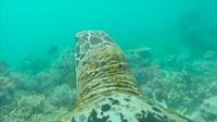 Cả thế giới dưới nước muôn màu được hé mở qua camera gắn trên mai rùa!