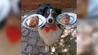 """Chú chó làm bồi bàn """"gây sốt"""" nhờ tài cân bằng mọi vật"""
