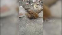 Khỉ con đau buồn ôm xác mẹ chết vì nắng nóng