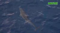 Xem đàn cá heo bơi lội gần mạn tàu giữa Biển Đông