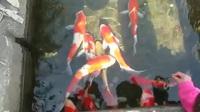Đến nơi sạch tới mức hàng nghìn con cá sống khỏe dưới cống thoát nước