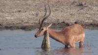 Thoát khỏi hàm cá sấu, linh dương bị chó hoang chặn đường đoạt mạng