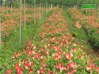 Sâm Bố Chính tại Quảng Trị phát triển sau 3 tháng chăm sóc