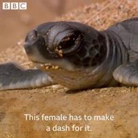 """Nín thở theo dõi cuộc đua """"tử thần"""" của rùa con vừa nở tìm về biển"""