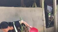 Em Phạm Trần Thu Sương với công việc chăm lợn gà hàng ngày