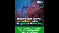 Hàng ngàn con cùng bơi sát nhau nhưng không hề va chạm, bí mật của loài cá là gì?