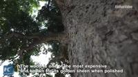 Cây trinh nam hiếm có, tuổi đời 1300 năm vẫn xanh tươi