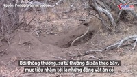 Cảnh tượng hiếm thấy, sư tử đào hang giết chết lợn rừng