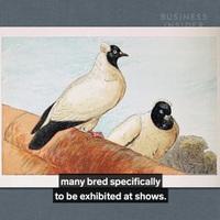 Vì sao một chú chim bồ câu đua lại có giá lên đến hàng chục tỷ đồng?