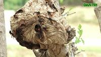 Thanh niên Hà Tĩnh thuần phục ong vò vẽ kiếm hàng trăm triệu mỗi năm.
