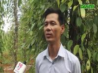 Người dân lao đao trước tình trạng hàng trăm ha tiêu chết vì khô hạn.