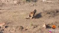 Hài hước khoảnh khắc sư tử đực vụng về khiến con mồi trốn thoát