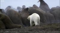 Cái kết nào cho chú gấu bắc cực một mình tấn công đàn Hải Mã