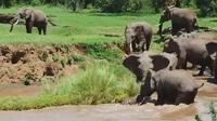 Khoảnh khắc cả đàn hợp sức cứu voi con bị nước cuốn trôi