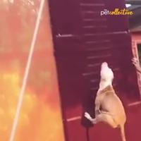 Clip hài hước cho thấy chó là những... vận động viên đầy tài năng