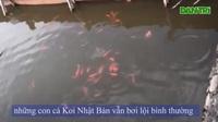 Cá Koi Nhật Bản bơi lội tung tăng ở Hồ Tây
