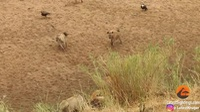 Khoảnh khắc sư tử bị đàn linh cẩu bao vây và màn giải cứu kịp thời