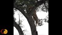 Sư tử hợp sức, trèo lên cây để cướp miếng mồi của báo hoa mai
