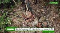 """Cận cảnh hai gốc hương trăm tuổi nằm """"phơi mình"""" giữa rừng"""
