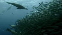 Bữa tiệc khổng lồ dưới đại dương: Xem sư tử biển, cá mập, cá voi cùng vây bắt đàn cá mòi!