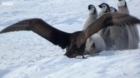 """Độc đáo khoảnh khắc đàn chim cánh cụt non """"dàn trận"""" chống lại kẻ săn mồi"""