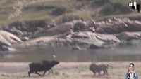 Những trận chiến kịch tính đến nghẹt thở của động vật vô tình lọt ống kính máy quay