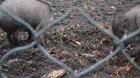 Lợn sử dụng công cụ để làm ổ