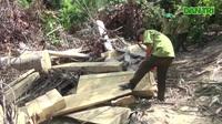 Hàng loạt cây rừng ở Phú Yên bị đốn hạ