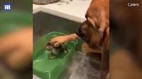 Clip Nàng chó săn Bloodhound Ruby Jane, 5 tuổi, đã vuốt ve chú mèo con 4 tuần tuổi Lakeland, Florida.