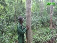 Rừng gỗ quý của người đàn ông Vân Kiều