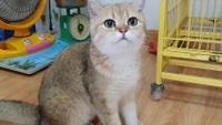 """Bỏ 160 triệu đồng mua mèo Anh, mà đi ngoài đường ai cũng tưởng mèo """"ta"""""""