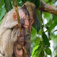 Hình ảnh khỉ mẹ bao bọc cho con dưới cơn mưa khiến nhiều người cảm động
