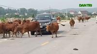 """Video hàng chục con bò """"tấn công"""" người đi đường trên Quốc lộ 15"""