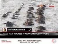 Hàng nghìn xác chim chết bất thường, nằm la liệt phủ kín mặt hồ