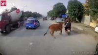 Người đi xe máy suýt gặp nạn vì bò thả rông trên đường