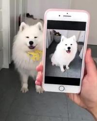 Chú chó có khả năng tạo dáng theo hình ảnh hết sức đáng yêu