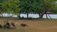 Xem cách rồng Komodo săn hươu thế nào?